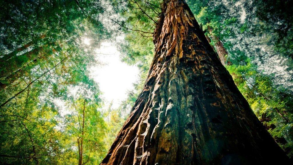 Венге экзотическая и ценная порода дерева